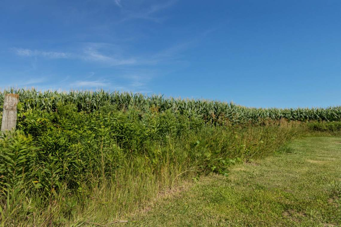 1-Corn-field-1